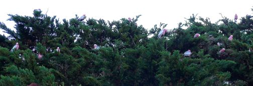 A small part of a large flock of galahs