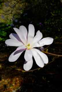 Magnolia x leobneri 'Leonard Messel'
