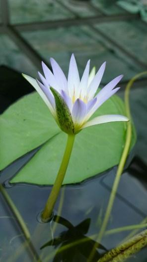 Dauben Water Lily, I think