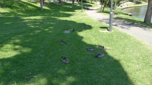 Ducks in the shade