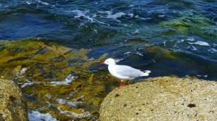 A silver gull