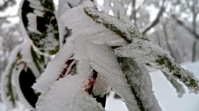 Ice-encrusted leaves