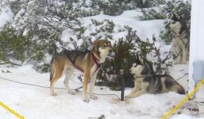 Part husky sled dog?