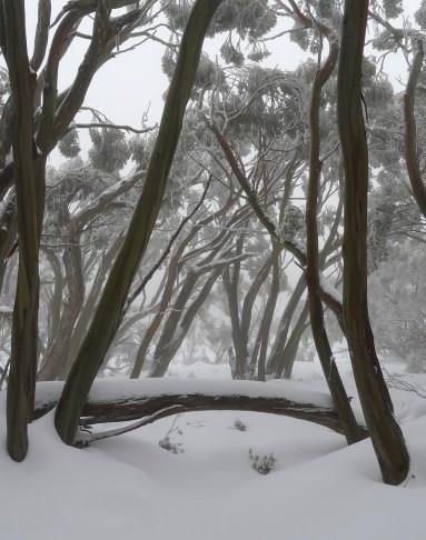 Snow gums framing the scene