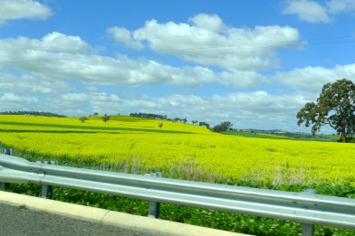 Canola fields, almost as far as you can see