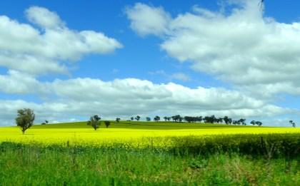 Canola fields in bloom, NSW