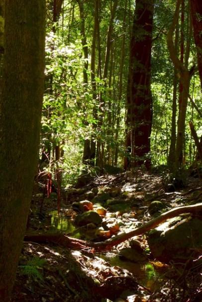 Banksia Streamlet, Leura Forest