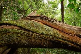 Bark on a fallen tree slowly splitting and falling away