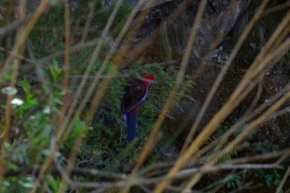 Crimson Rosella feeding just below the stairs