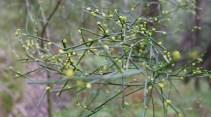More acacia flowers