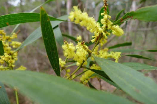One of our many types of wattle