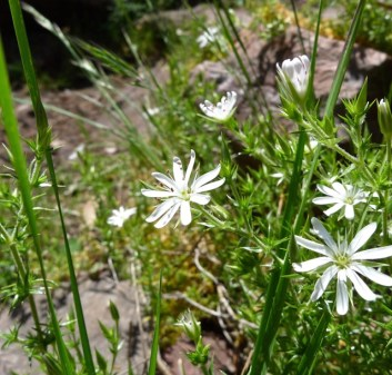 A small white flower, also quite common along the Razorback Track
