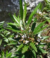 Small white clustering flowers on a bush or small tree near the higher parts of the Razorback Track