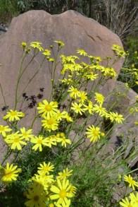 Yellow daisy common along the Razorback Track
