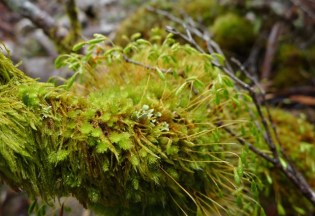A sporing liverwort, possibly