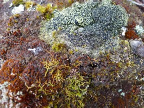 Bryophytes and lichen on a rock