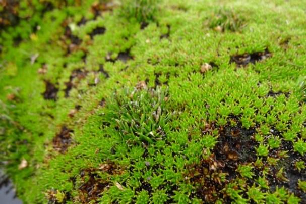 Heath cushionplant (Dracophyllum minimum) with something else poking through?
