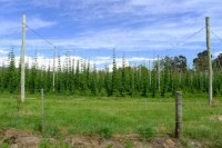 Hops. Lots and lots of hops grow at Bushy Park, about 45min north-west of Hobart