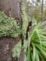 Lichen on the trunk