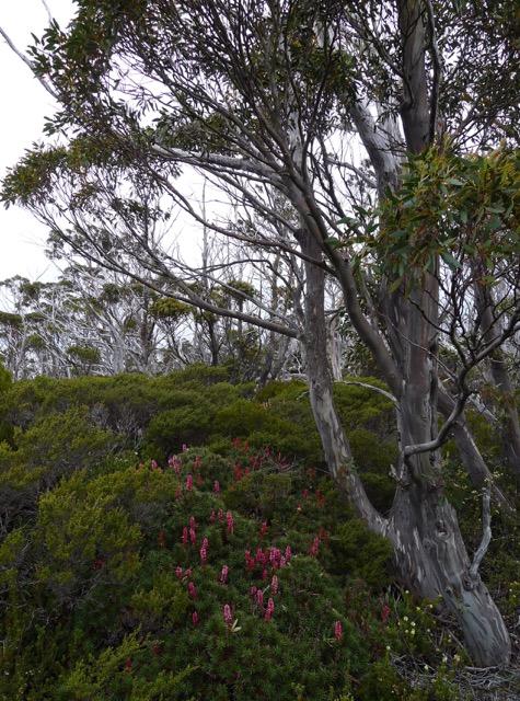 Scoparia (Richea scoparia) beneath what could well be a Snow gum (Eucalyptus pauciflora)
