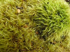 These bryophytes remind me of a shag-pile carpet