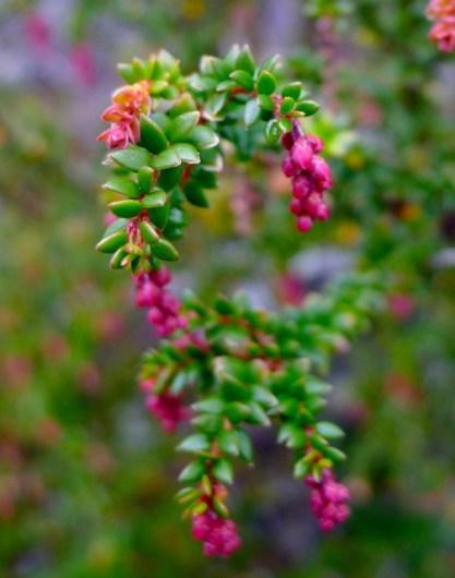 Thymeleaf Purpleberry (Trochocarpa thymifolia)