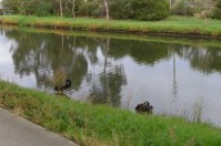 Black Swans in Railway Canal along the Capital City Trail