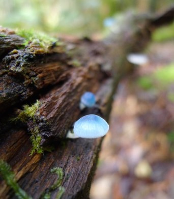Blue Fungi, Mt Field National Park