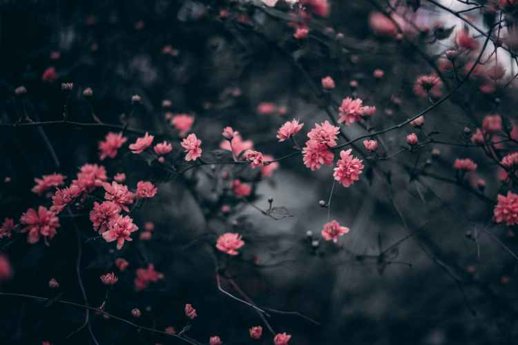 beautiful blooming pink flowers on branch