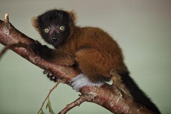 dublin zoo lemur