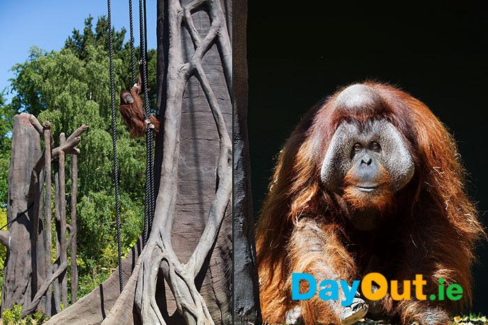 Orangutan-Forest-Habitat-Dublin-Zoo