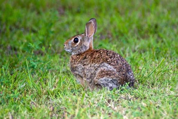 animal observation report on cottontail rabbits