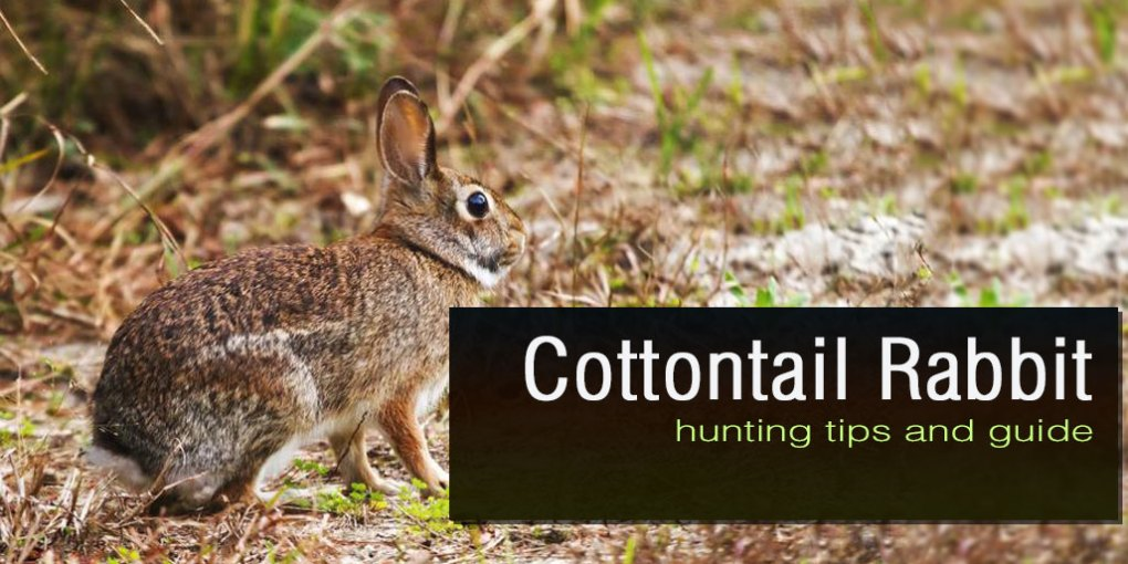 Cottontail Rabbit Hunting: How to Hunt Rabbit Properly