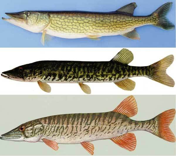 Musky VS Pike: Difference and Similarity for Angler