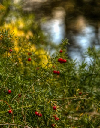 red-berries-talle