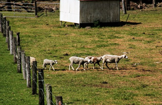 sheep-paddock