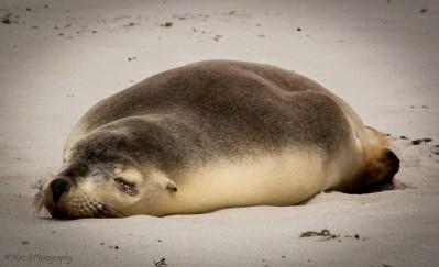 seal-at-seal-bay-KI