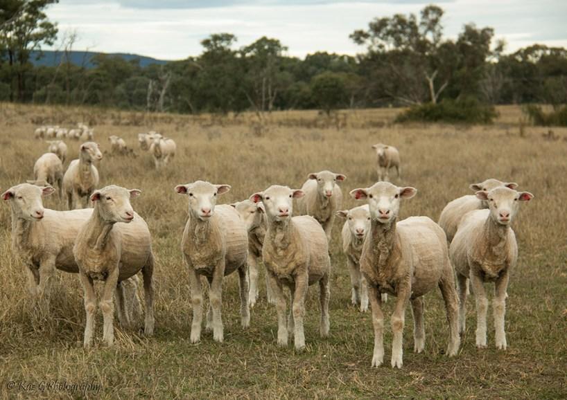 the-farm-sheep