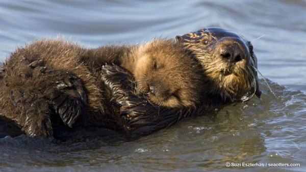 Countdown to Sea Otter Awareness Week – Sept 22-28 : SEAOTTERS.COM ...