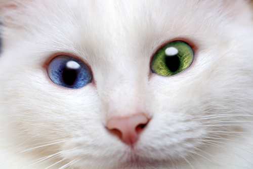 Are kitten born heterochromatic(different eye color) ?