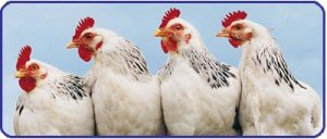 National Chicken Month - Have the Democrat's Chickens come home to roost? Dems only please.?