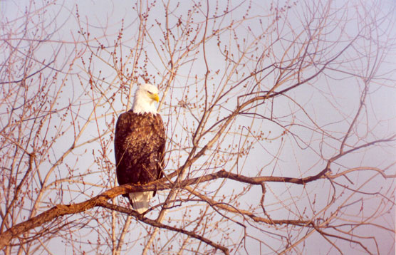 Bald Eagle Appreciation Day - February - Effigy Mounds National ...