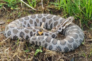 National Rattlesnake Roundup