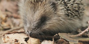 Hedgehog Day - Can my hedgehog live without a cage for a few days?