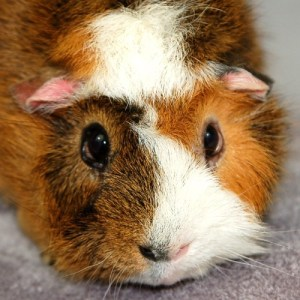 Adopt A Rescued Guinea Pig Month - Where could I adopt a Guinea Pig at?