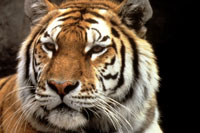 National Save A Tiger Month - What should I write about for.?