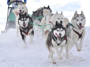 Sled Dog Day - What is a famous incident from the past where a sled dog (or dogs) saved the day?