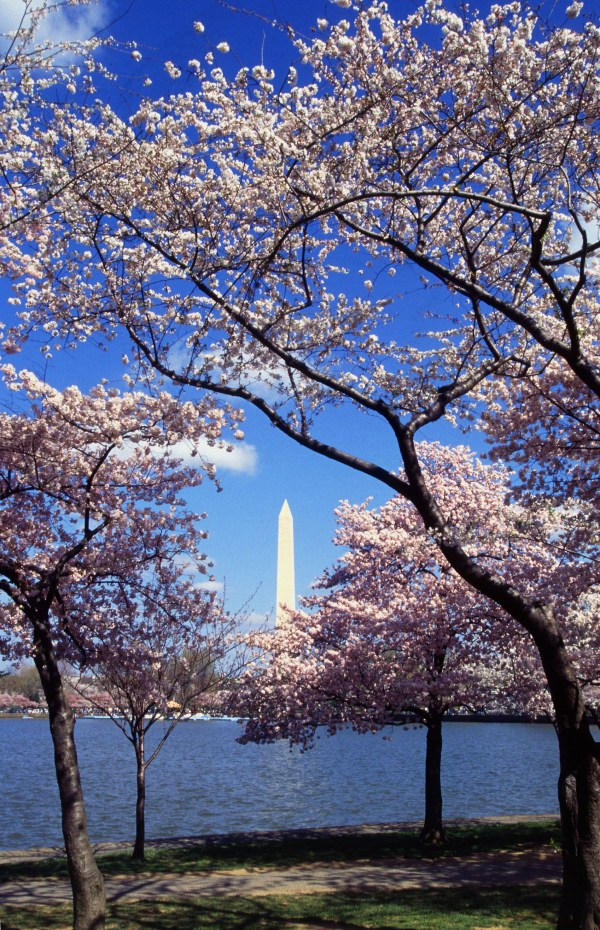 PLEASE HELPP! What is the cherry blossom festival?