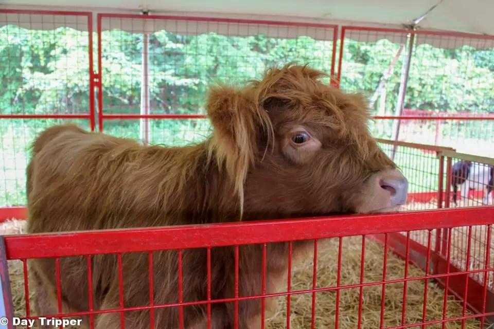 Cinnamon the highland Cow