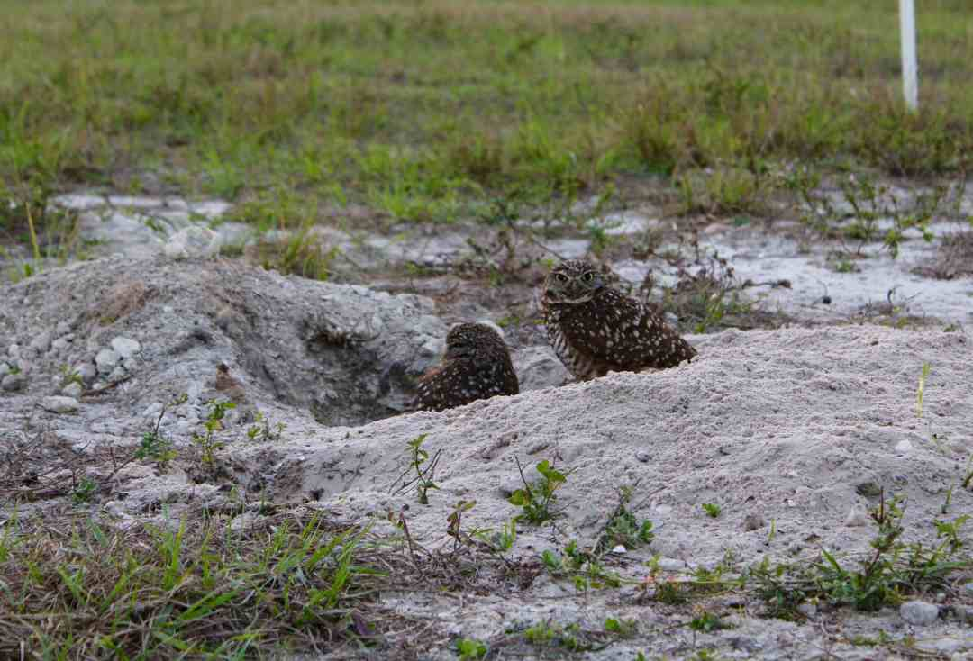 Burrowing Owl on Marco Island Florida